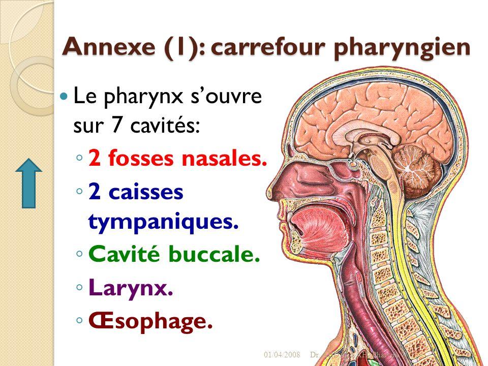 Annexe (1): carrefour pharyngien Le pharynx souvre sur 7 cavités: 2 fosses nasales. 2 caisses tympaniques. Cavité buccale. Larynx. Œsophage. 01/04/200