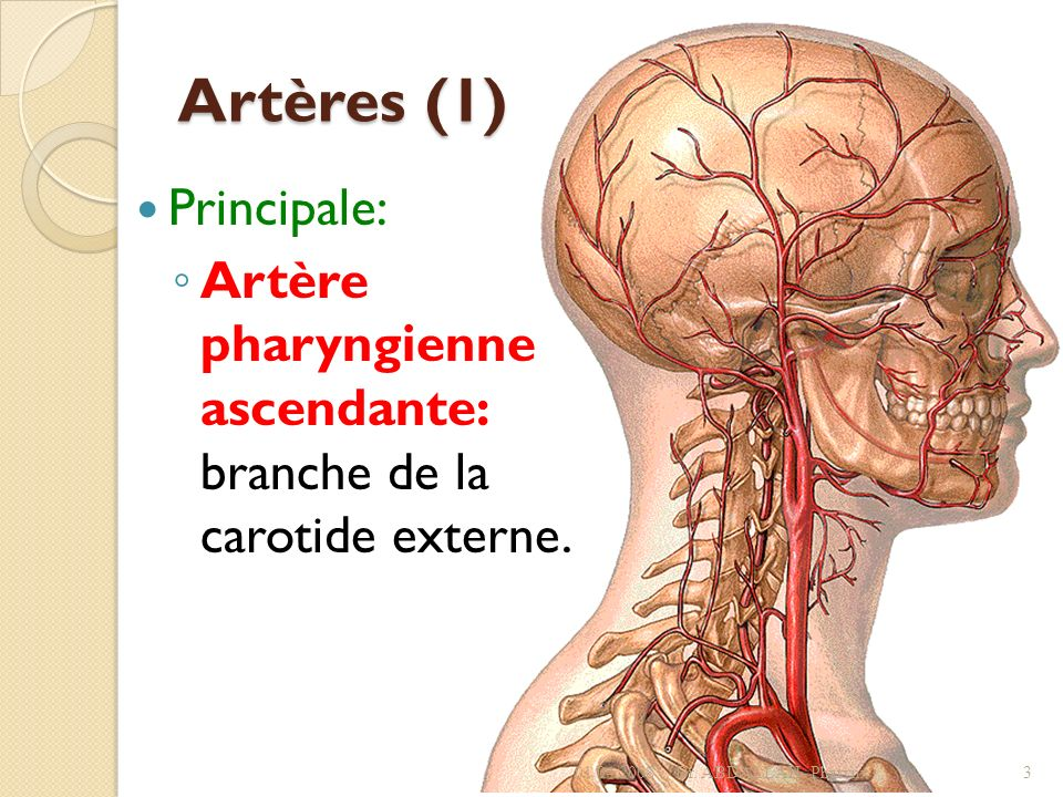 Artères (1) Principale: Artère pharyngienne ascendante: branche de la carotide externe. 01/04/2008Dr. ABDALLAH- Pharynx3
