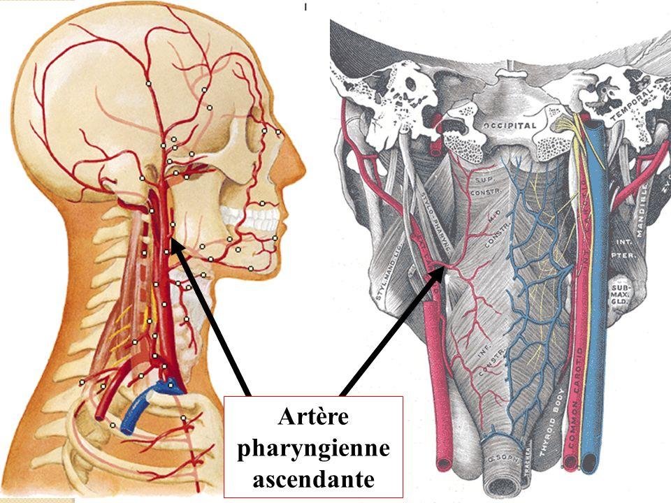 Artères (2) Accessoires: Artère palatine ascendante (branche de la faciale).