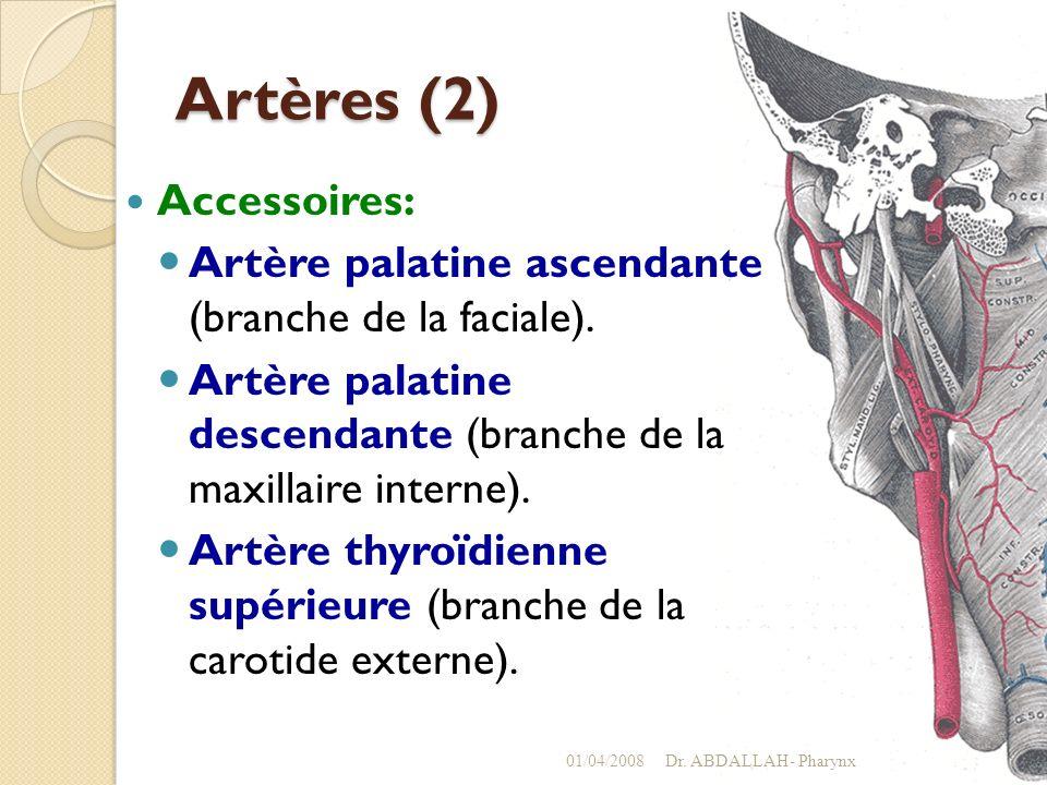 Artères (2) Accessoires: Artère palatine ascendante (branche de la faciale). Artère palatine descendante (branche de la maxillaire interne). Artère th