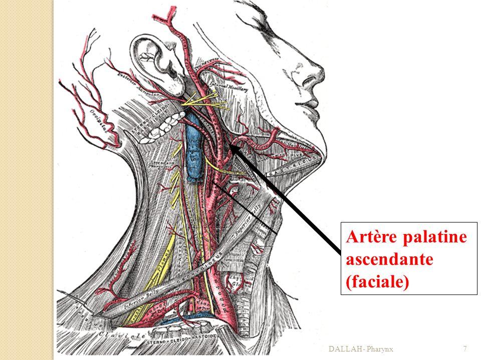 01/04/2008Dr. ABDALLAH- Pharynx7 Artère palatine ascendante (faciale)