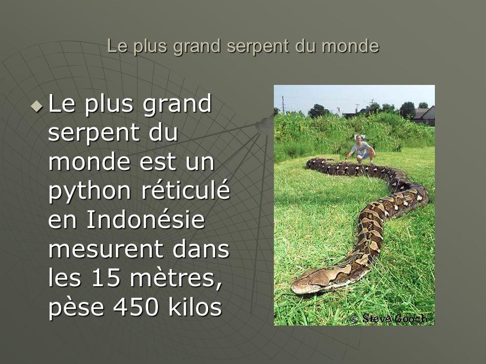 Le plus grand serpent du monde Le plus grand serpent du monde est un python réticulé en Indonésie mesurent dans les 15 mètres, pèse 450 kilos Le plus