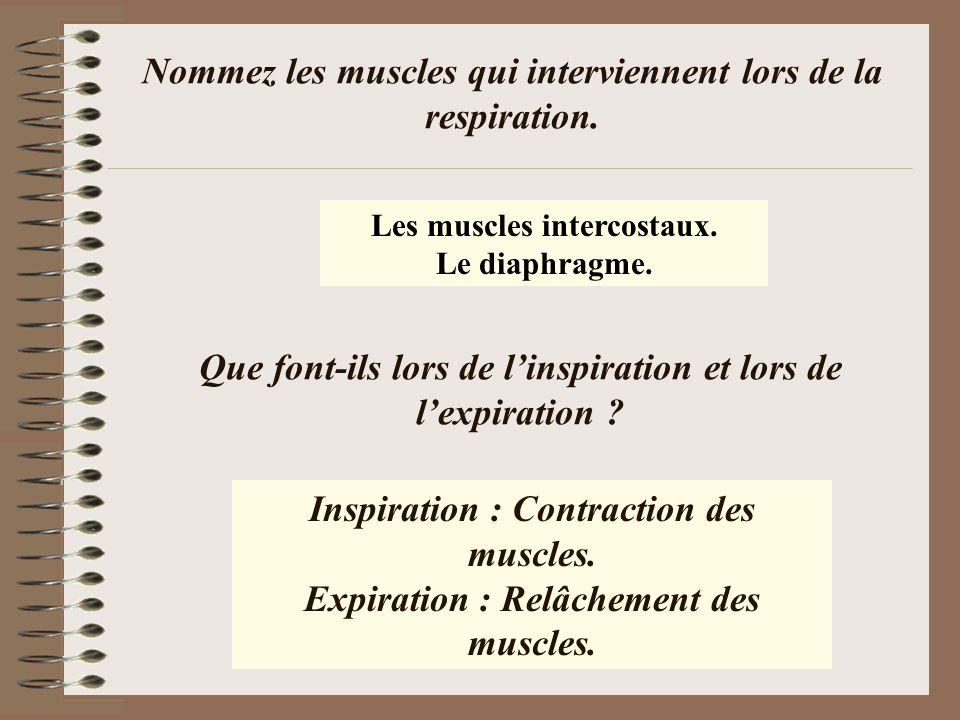 Nommez les muscles qui interviennent lors de la respiration. Les muscles intercostaux. Le diaphragme. Inspiration : Contraction des muscles. Expiratio