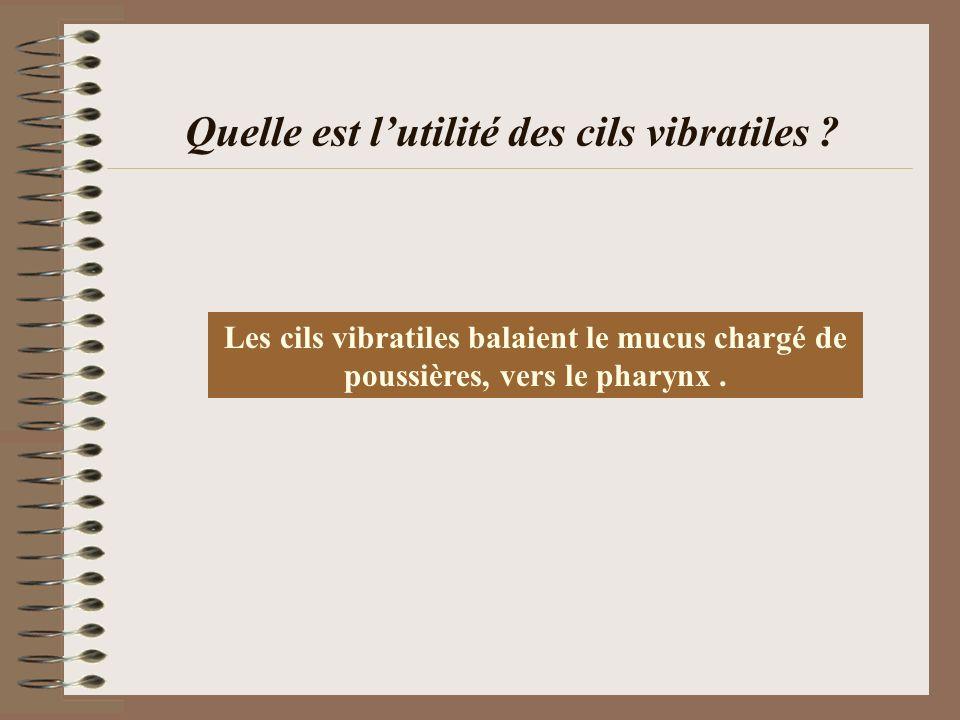 Quelle est lutilité des cils vibratiles ? Les cils vibratiles balaient le mucus chargé de poussières, vers le pharynx.