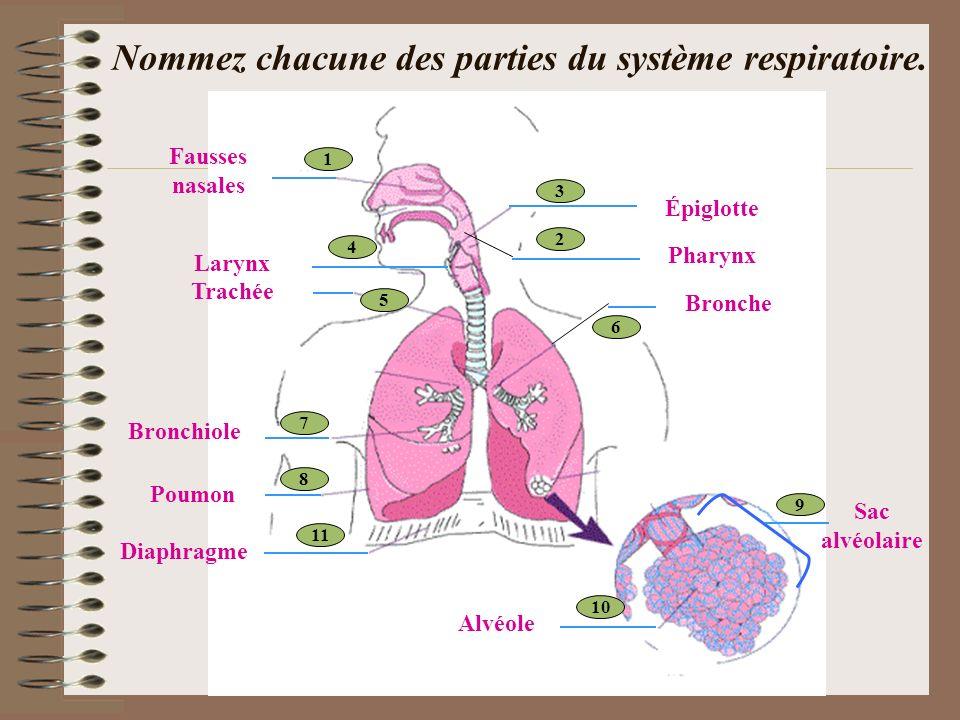 Nommez chacune des parties du système respiratoire. 1 2 3 4 11 10 9 8 7 6 5 Fausses nasales Épiglotte Pharynx Bronche Trachée Larynx Sac alvéolaire Po
