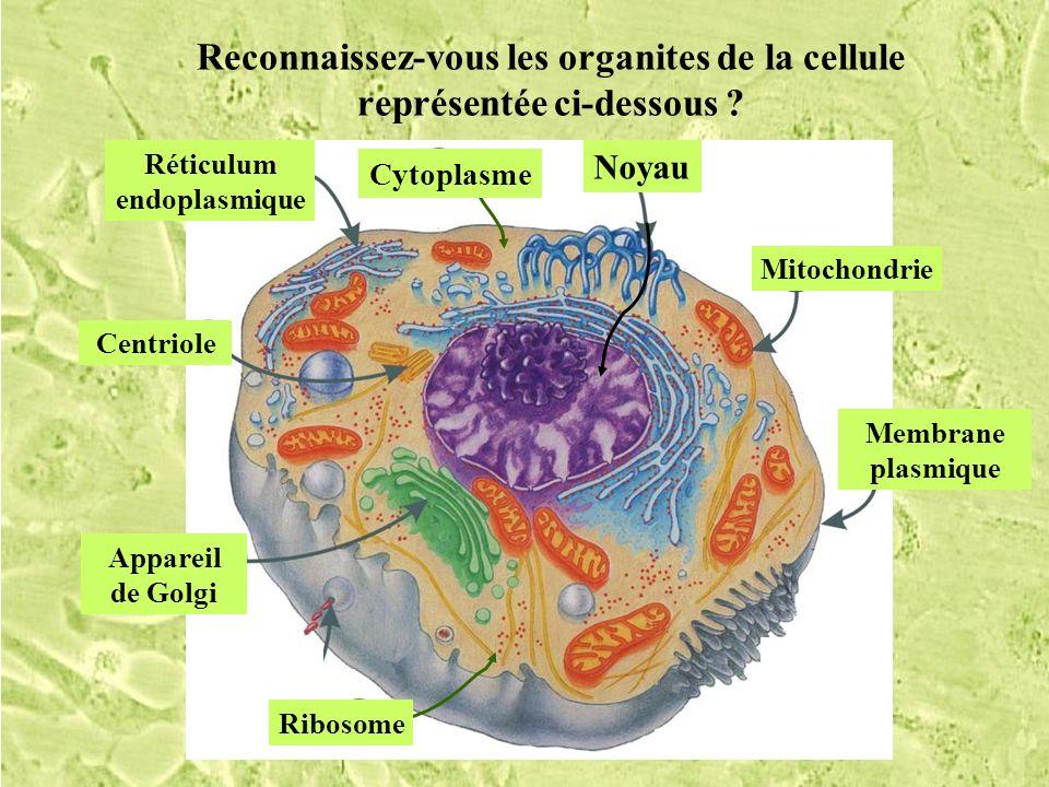 Reconnaissez-vous les organites de la cellule représentée ci-dessous ? Réticulum endoplasmique Mitochondrie Membrane plasmique Noyau H Cytoplasme E Ri