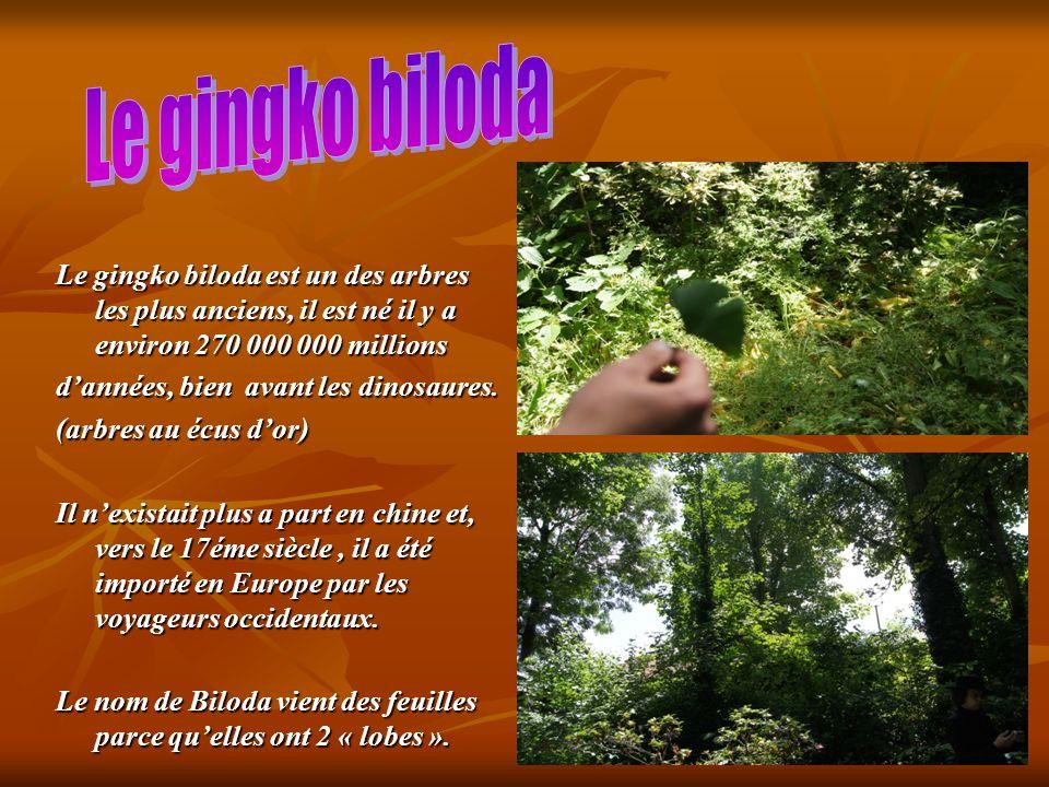 Le gingko biloda est un des arbres les plus anciens, il est né il y a environ 270 000 000 millions dannées, bien avant les dinosaures. (arbres au écus