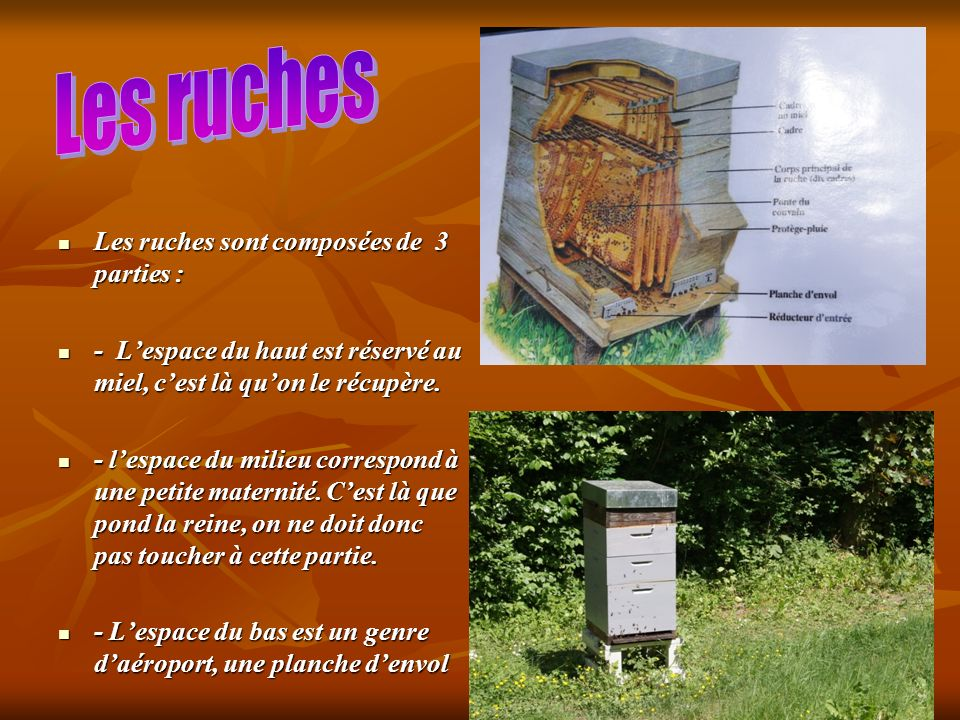 Les ruches sont composées de 3 parties : Les ruches sont composées de 3 parties : - Lespace du haut est réservé au miel, cest là quon le récupère. - L