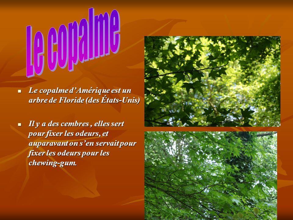 Le copalme dAmérique est un arbre de Floride (des États-Unis) Le copalme dAmérique est un arbre de Floride (des États-Unis) Il y a des cembres, elles sert pour fixer les odeurs, et auparavant on sen servait pour fixer les odeurs pour les chewing-gum.