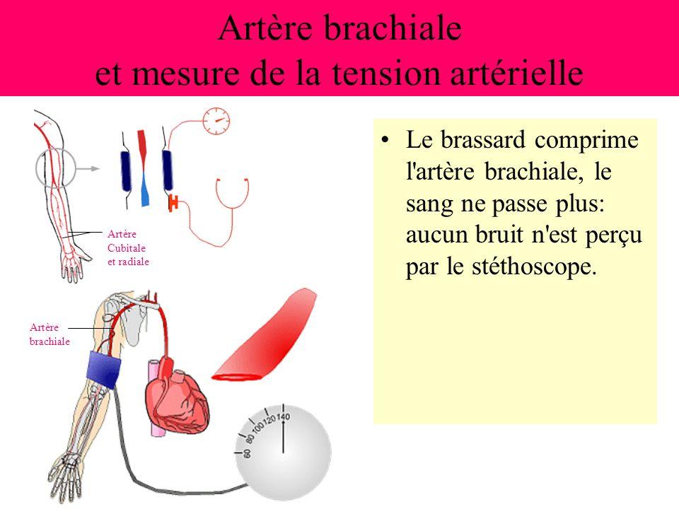 Artère brachiale et mesure de la tension artérielle Le brassard comprime l'artère brachiale, le sang ne passe plus: aucun bruit n'est perçu par le sté