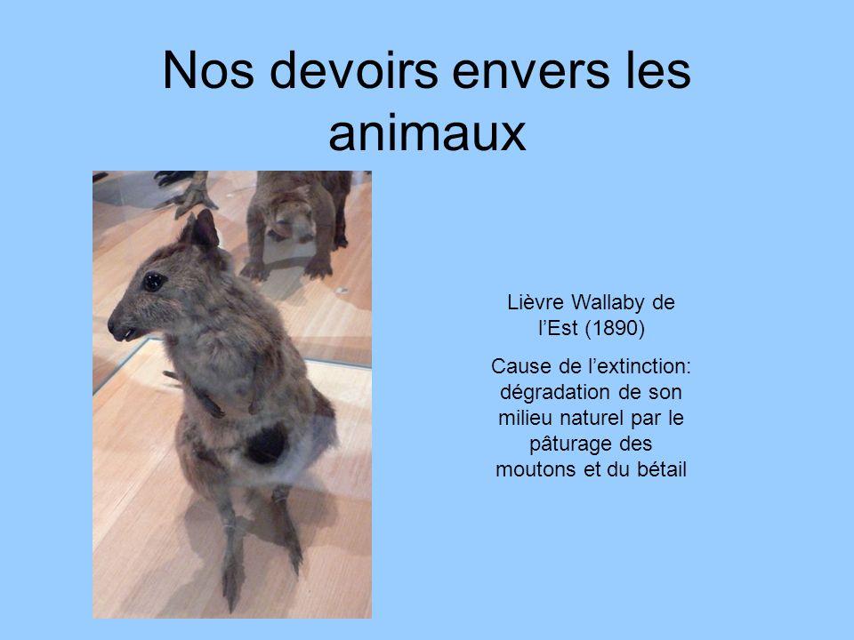 Nos devoirs envers les animaux Lièvre Wallaby de lEst (1890) Cause de lextinction: dégradation de son milieu naturel par le pâturage des moutons et du