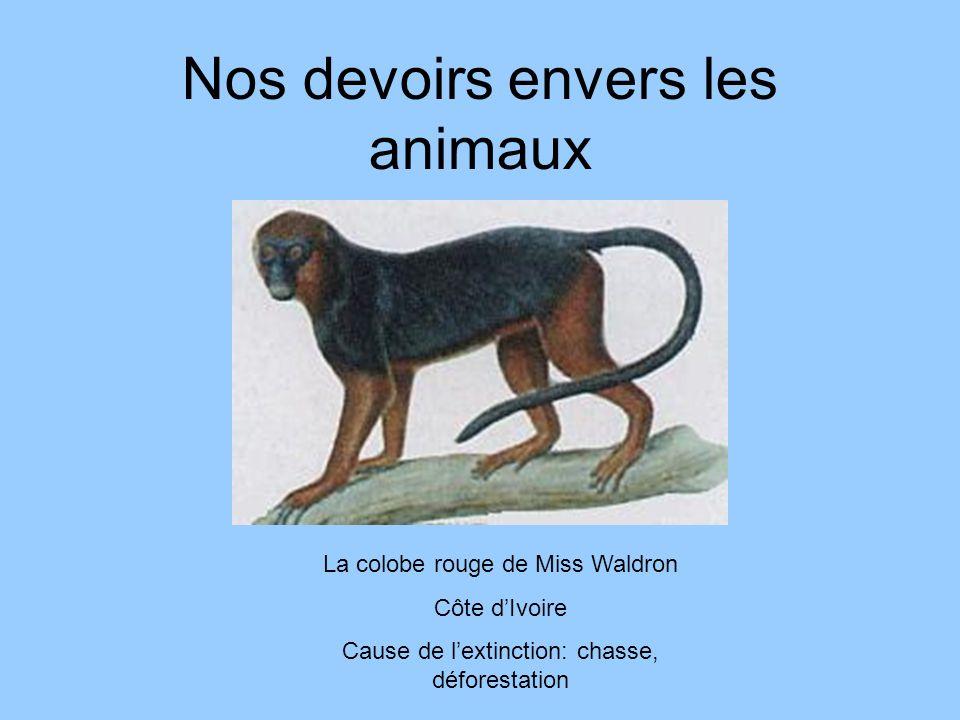 Nos devoirs envers les animaux La colobe rouge de Miss Waldron Côte dIvoire Cause de lextinction: chasse, déforestation