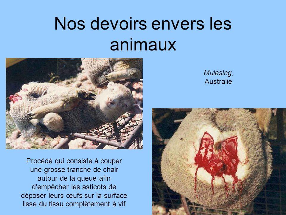 Nos devoirs envers les animaux Mulesing, Australie Procédé qui consiste à couper une grosse tranche de chair autour de la queue afin dempêcher les ast