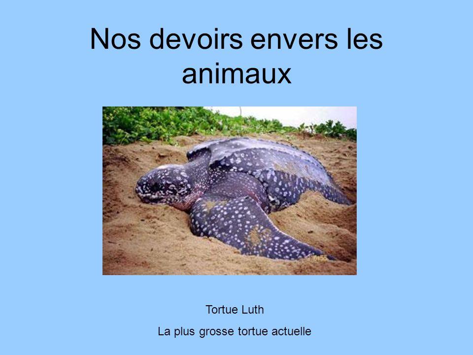 Nos devoirs envers les animaux Tortue Luth La plus grosse tortue actuelle