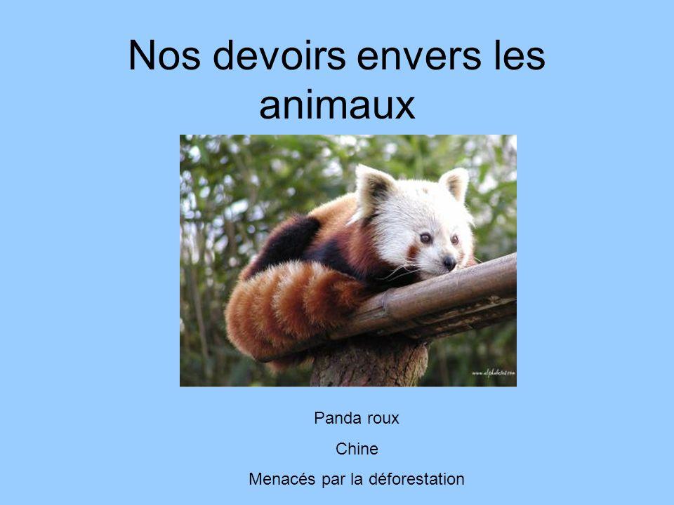 Nos devoirs envers les animaux Panda roux Chine Menacés par la déforestation