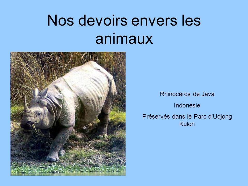 Nos devoirs envers les animaux Rhinocéros de Java Indonésie Préservés dans le Parc dUdjong Kulon