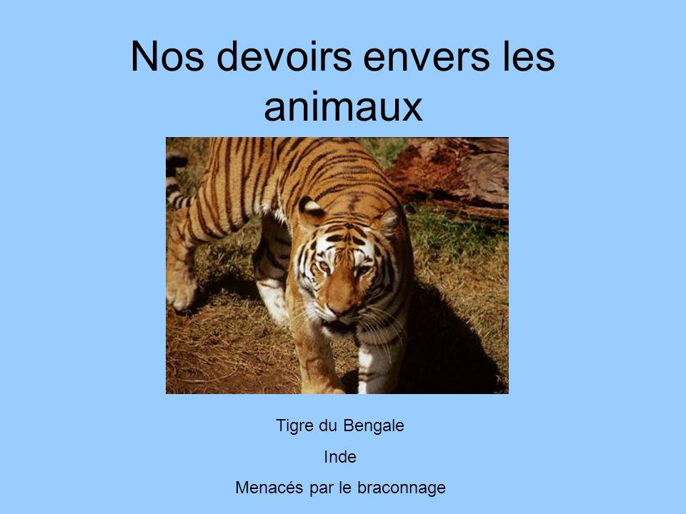 Nos devoirs envers les animaux Tigre du Bengale Inde Menacés par le braconnage