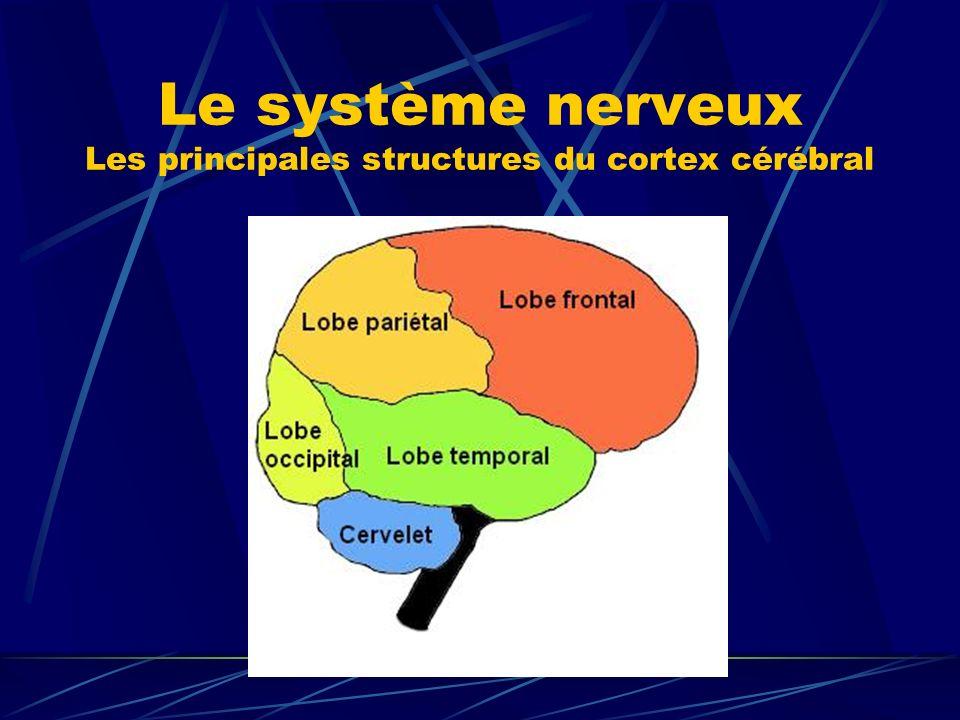 Le système nerveux Les principales structures du cortex cérébral
