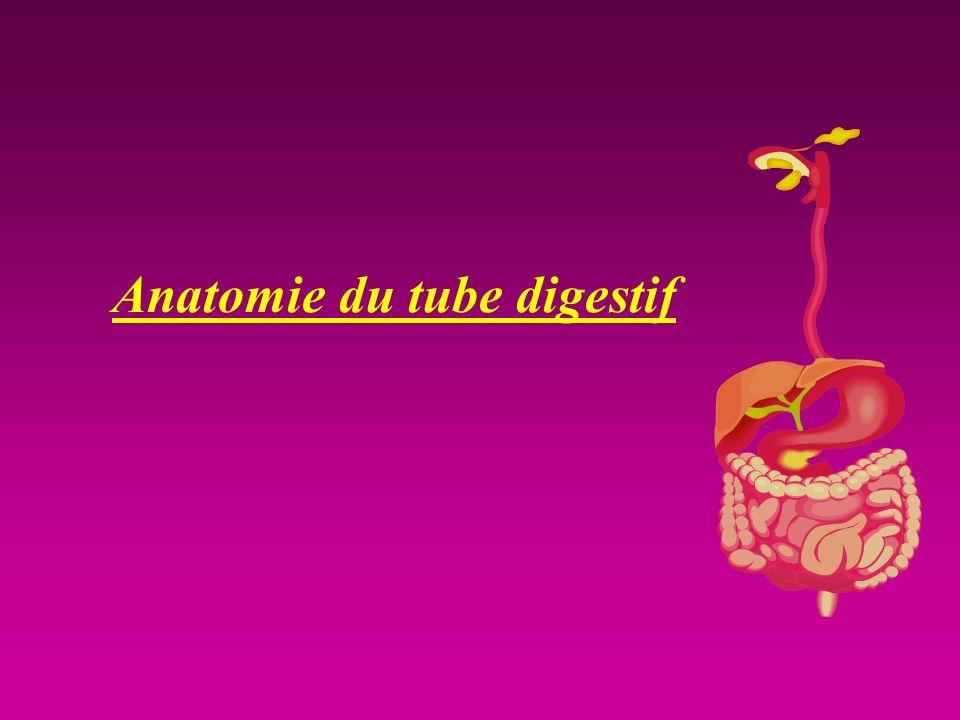 Anatomie du tube digestif