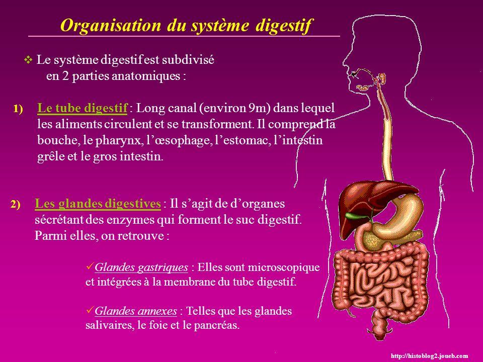 Organisation du système digestif Le système digestif est subdivisé en 2 parties anatomiques : http://histoblog2.joueb.com Glandes gastriques : Elles s