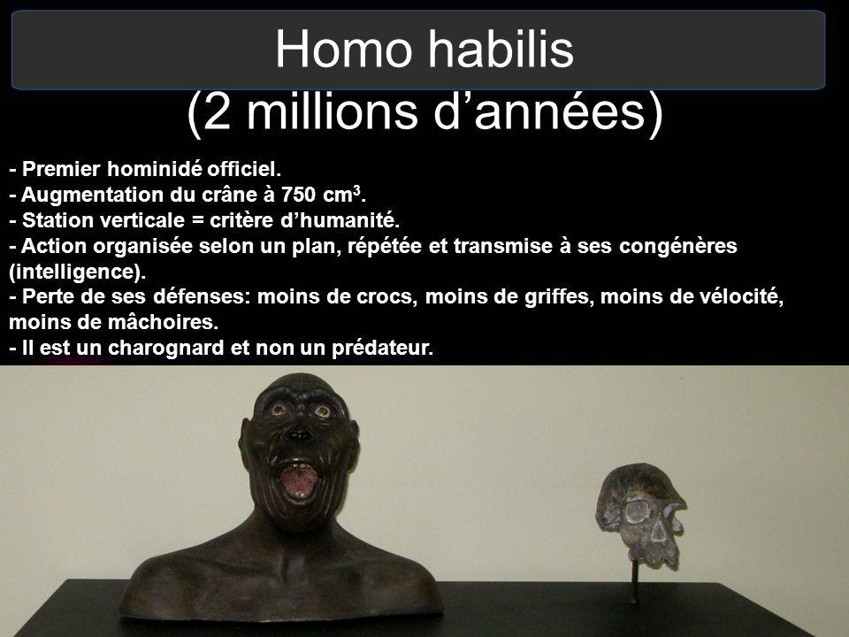Homo habilis (2 millions dannées) - Premier hominidé officiel. - Augmentation du crâne à 750 cm 3. - Station verticale = critère dhumanité. - Action o