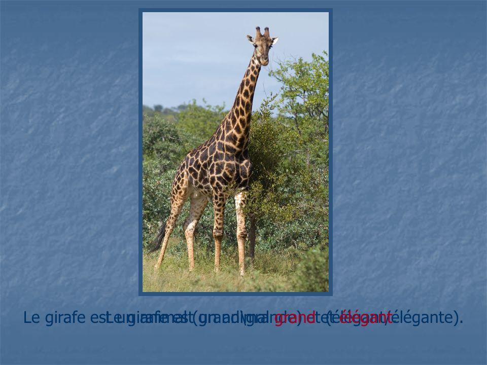Le girafe est un animal (grand\grande) et (élégant/élégante).Le girafe est un animal grand et élégant.