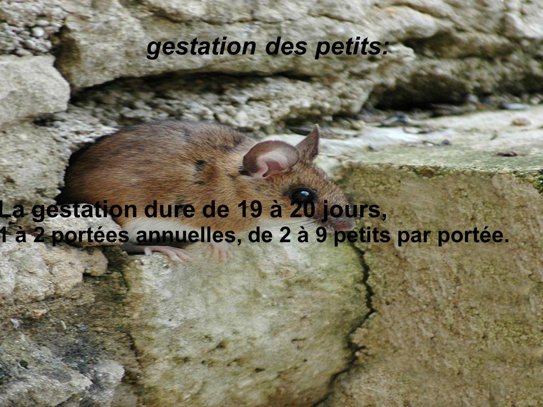 gestation des petits: La gestation dure de 19 à 20 jours, 1 à 2 portées annuelles, de 2 à 9 petits par portée.
