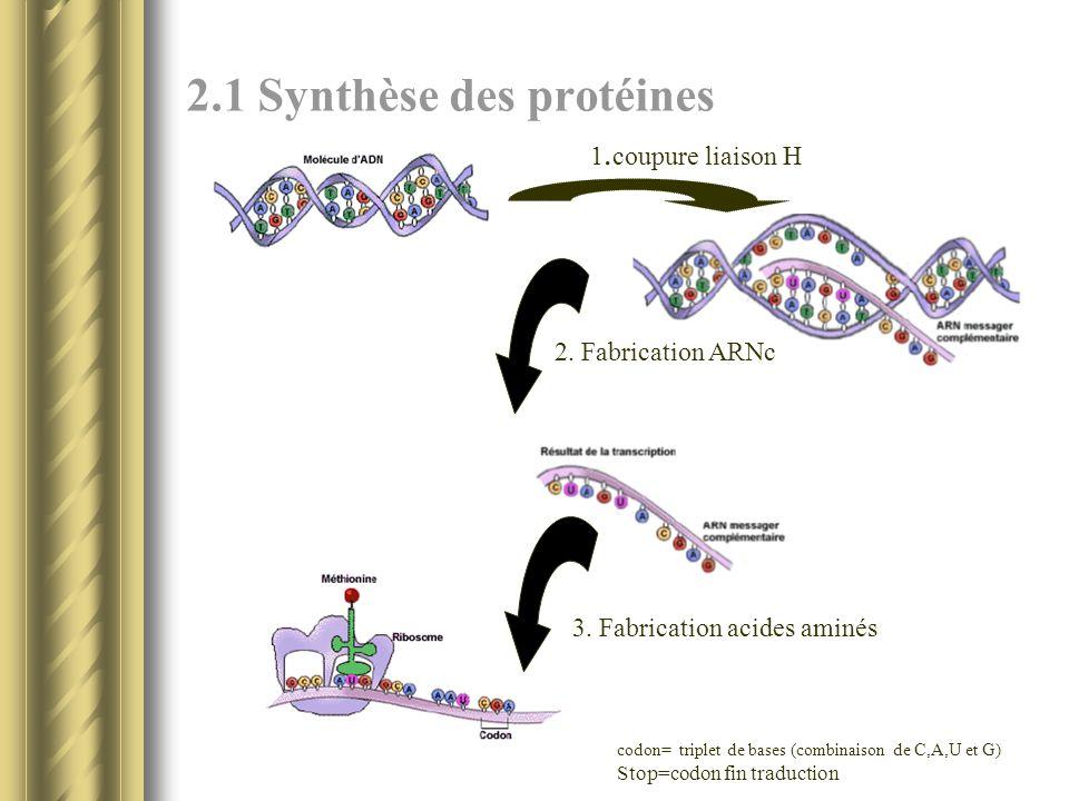 2.1 Synthèse des protéines 1. coupure liaison H 2. Fabrication ARNc 3. Fabrication acides aminés codon= triplet de bases (combinaison de C,A,U et G) S