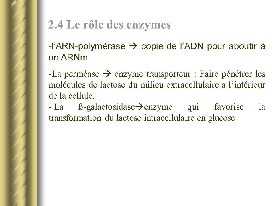 2.4 Le rôle des enzymes - lARN-polymérase copie de lADN pour aboutir à un ARNm -La perméase enzyme transporteur : Faire pénétrer les molécules de lactose du milieu extracellulaire a lintérieur de la cellule.