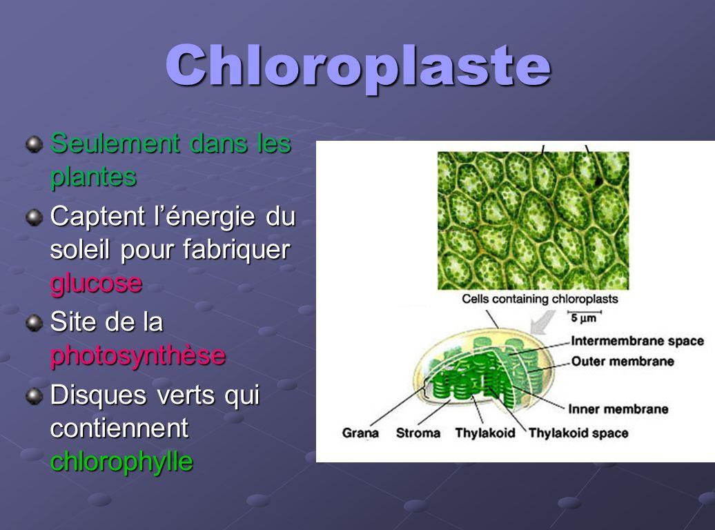 Chloroplaste Seulement dans les plantes Captent lénergie du soleil pour fabriquer glucose Site de la photosynthèse Disques verts qui contiennent chlor