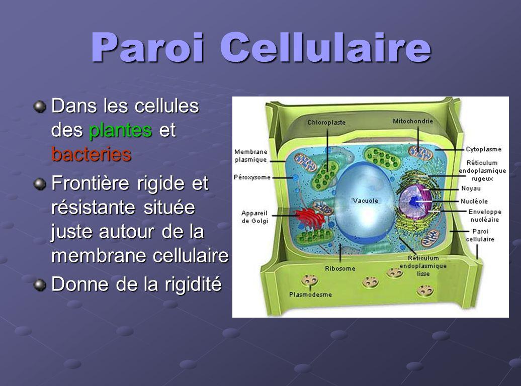 Paroi Cellulaire Dans les cellules des plantes et bacteries Frontière rigide et résistante située juste autour de la membrane cellulaire Donne de la r