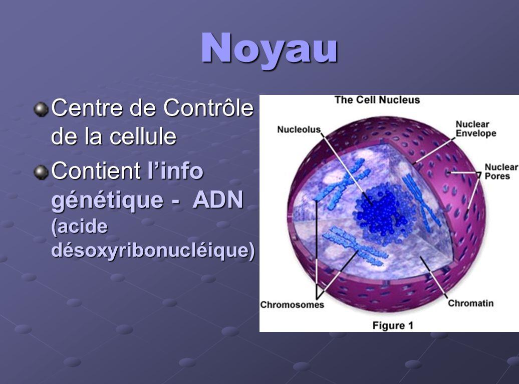 Noyau Centre de Contrôle de la cellule Contient linfo génétique - ADN (acide désoxyribonucléique)