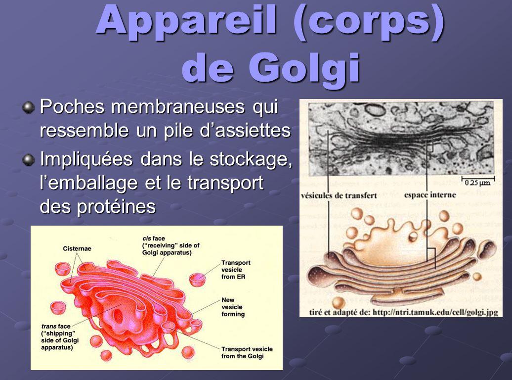 Appareil (corps) de Golgi Poches membraneuses qui ressemble un pile dassiettes Impliquées dans le stockage, lemballage et le transport des protéines