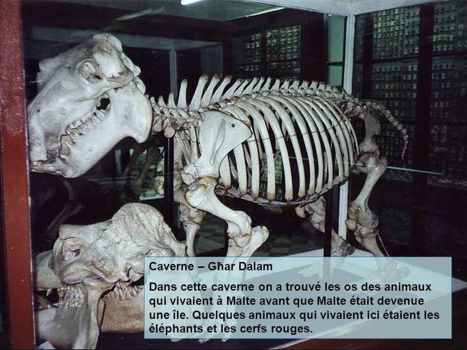Caverne – Għar Dalam Dans cette caverne on a trouvé les os des animaux qui vivaient à Malte avant que Malte était devenue une île. Quelques animaux qu