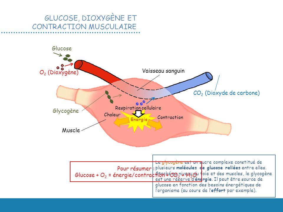 GLUCOSE, DIOXYGÈNE ET CONTRACTION MUSCULAIRE Muscle Glucose O 2 (Dioxygène) Vaisseau sanguin CO 2 (Dioxyde de carbone) Energie Glycogène Respiration c