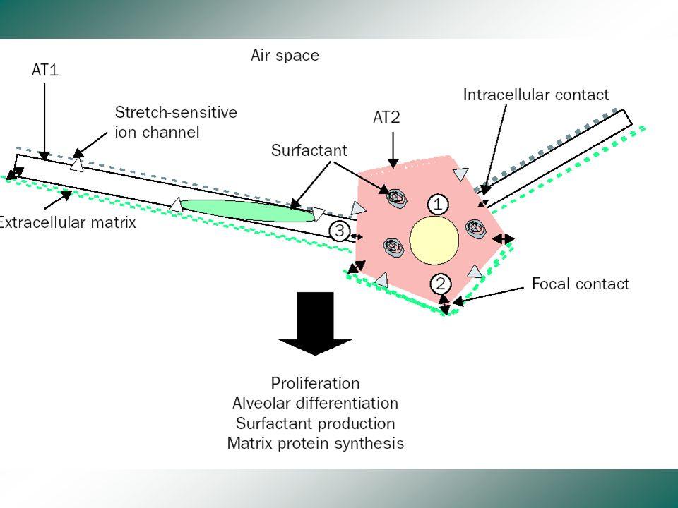 Instabilité Alvéolaire - Réactions inflammatoires - Lésions cellulaires