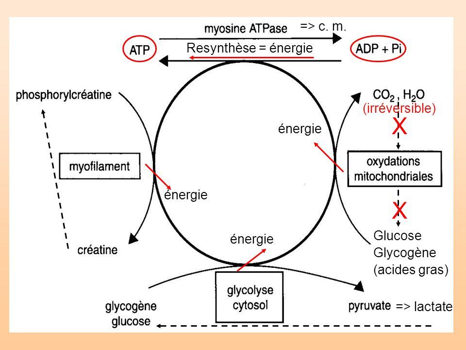 => lactate X X (irréversible) énergie Resynthèse = énergie énergie => c. m. Glucose Glycogène (acides gras)
