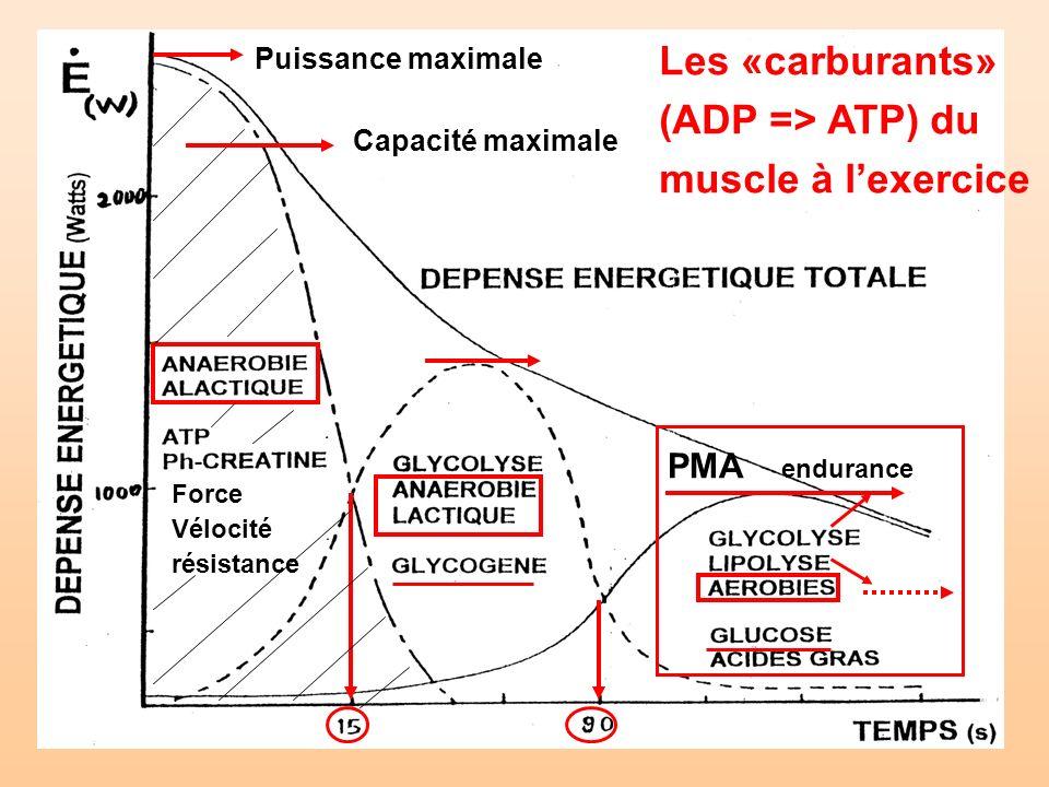 Puissance maximale Capacité maximale PMA endurance Les «carburants» (ADP => ATP) du muscle à lexercice Force Vélocité résistance