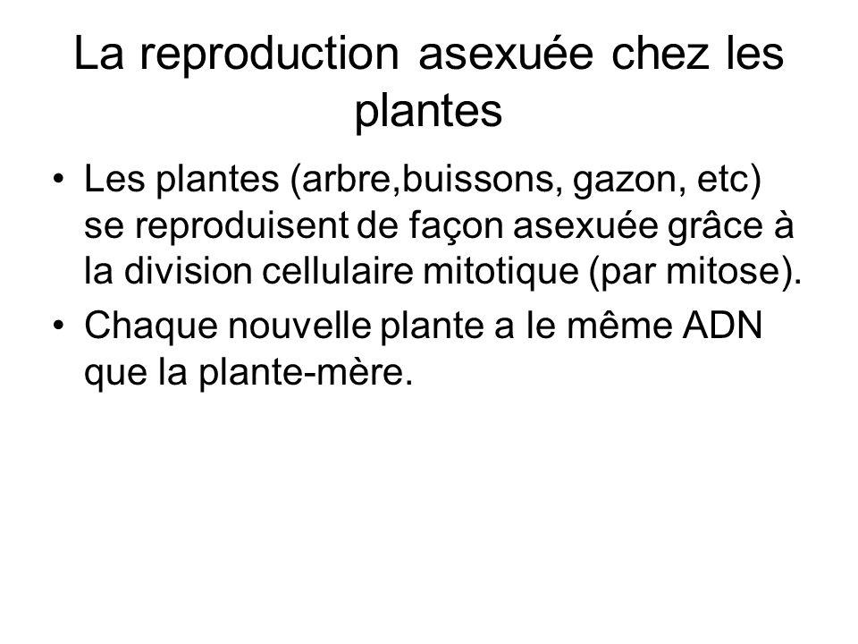 La reproduction asexuée chez les plantes Les plantes (arbre,buissons, gazon, etc) se reproduisent de façon asexuée grâce à la division cellulaire mito