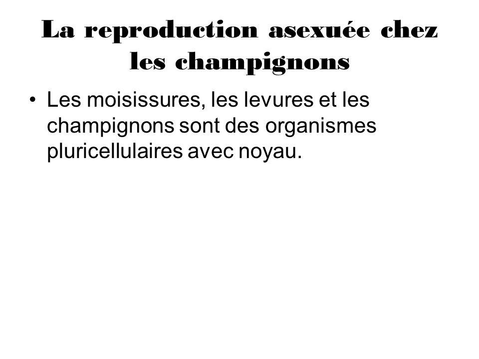La reproduction asexuée chez les champignons Les moisissures, les levures et les champignons sont des organismes pluricellulaires avec noyau.