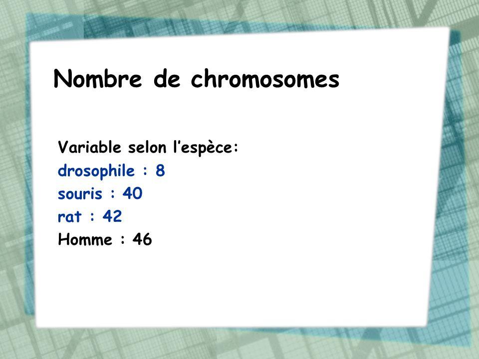 Nombre de chromosomes Variable selon lespèce: drosophile : 8 souris : 40 rat : 42 Homme : 46