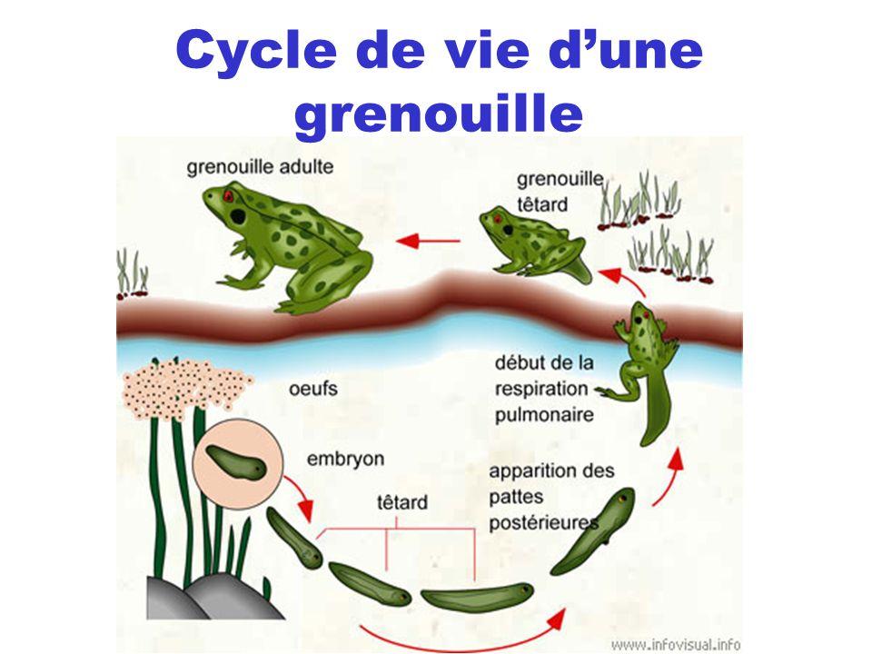 Cycle de vie dune grenouille
