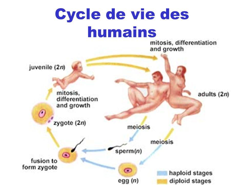 Cycle de vie des humains