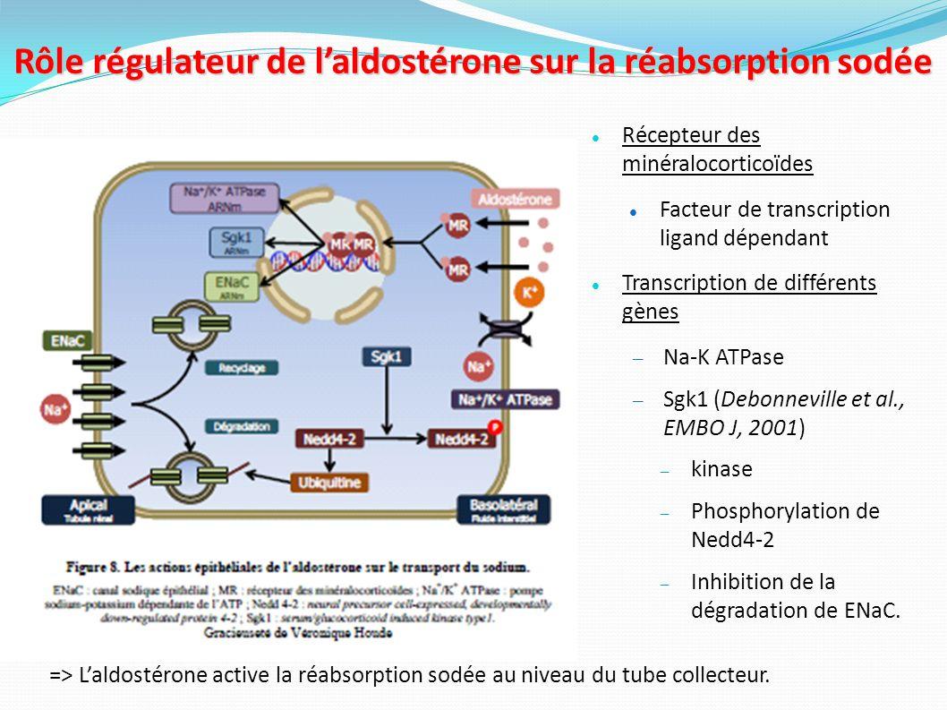 Mutations retrouvées dans le syndrome de Liddle Mutation non-sens Mutation frame-shift Protéine tronquée ne contenant pas le domaine PY Mutation faux sens touchant le domaine PY Domaine PY non fonctionnel Vehaskari et al., Pediatr Nephrol.