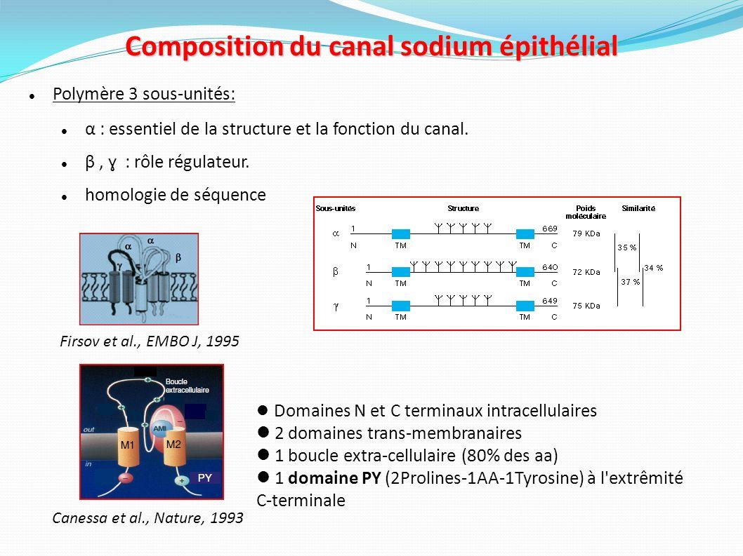 Régulation du canal sodium épithélial Rôle du domaine PY dans la régulation de ENaC Interaction avec Nedd4-2 (ubiquitine ligase) Dégradation de ENaC Staub et al., EMBO J 1996