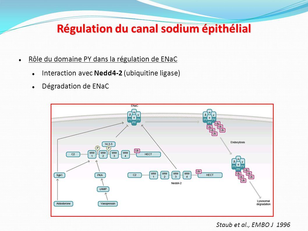 Rôle régulateur de laldostérone sur la réabsorption sodée Récepteur des minéralocorticoïdes Facteur de transcription ligand dépendant Transcription de différents gènes – Na-K ATPase – Sgk1 (Debonneville et al., EMBO J, 2001) – kinase – Phosphorylation de Nedd4-2 – Inhibition de la dégradation de ENaC.