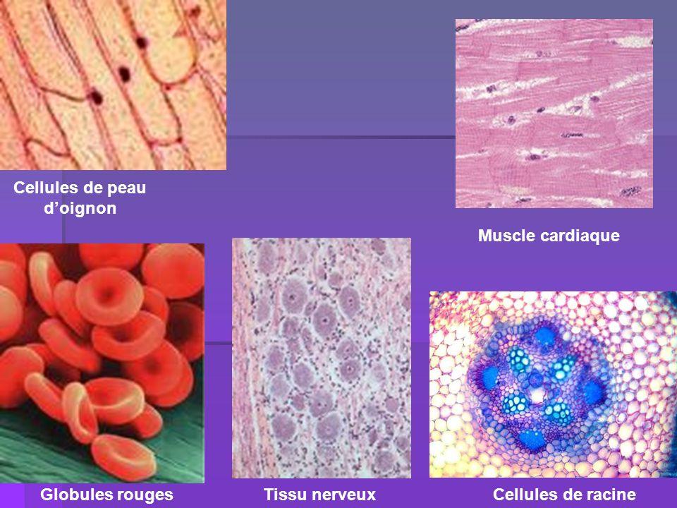 Muscle cardiaque Tissu nerveux Cellules de peau doignon Cellules de racineGlobules rouges