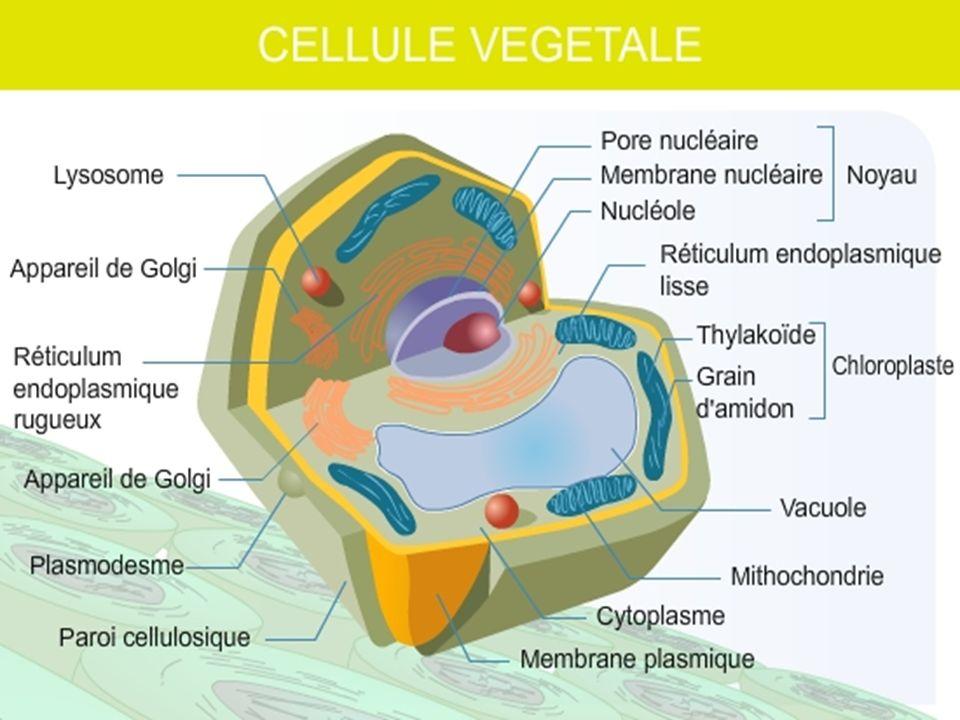 Fonctionnement de la cellule Intrants et extrants Intrants et extrants Entrent et sortent de la cellule Entrent et sortent de la cellule Indispensables à ses activités Indispensables à ses activités Membrane à perméabilité sélective Membrane à perméabilité sélective «Douane» «Douane» Diffusion Diffusion