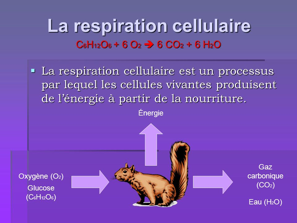 La respiration cellulaire La respiration cellulaire est un processus par lequel les cellules vivantes produisent de lénergie à partir de la nourriture