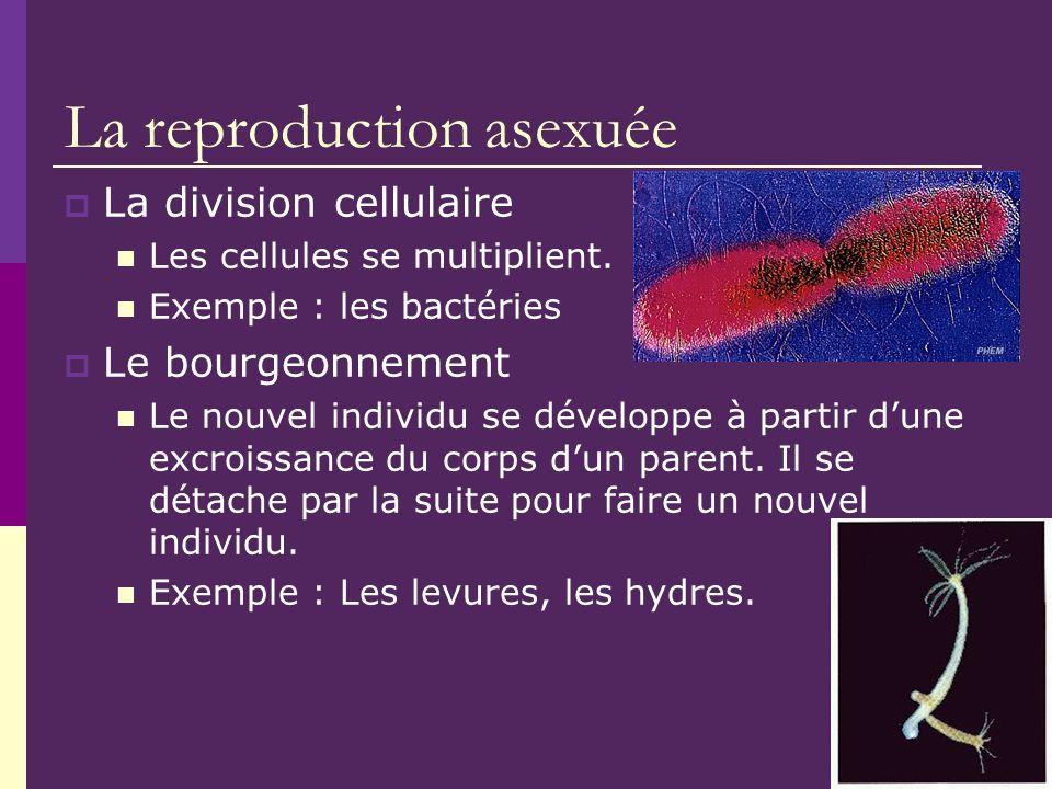 La reproduction asexuée La division cellulaire Les cellules se multiplient. Exemple : les bactéries Le bourgeonnement Le nouvel individu se développe
